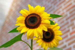sunflower-448654_960_720